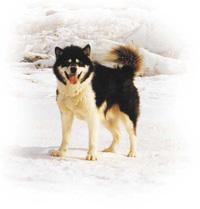 inuit dog